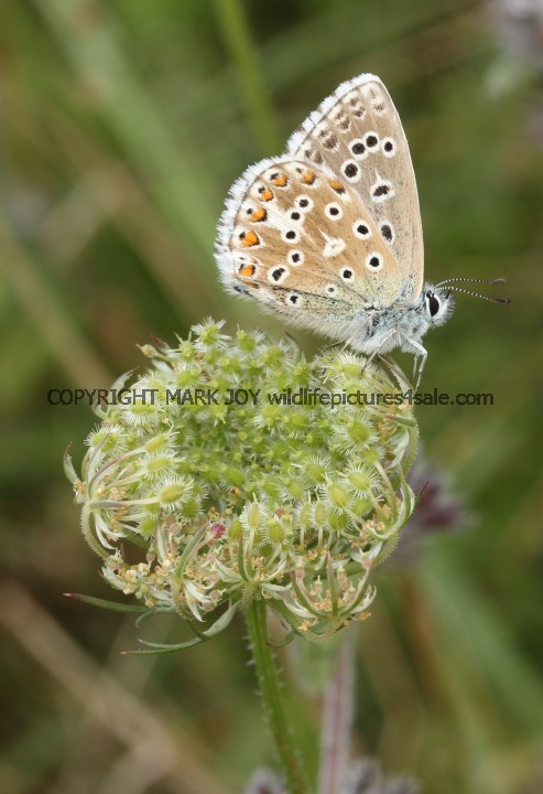 Adonis Blue (male) (8)