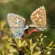 Adonis Blues mating (3)