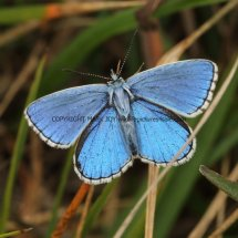 Adonis blue (1)