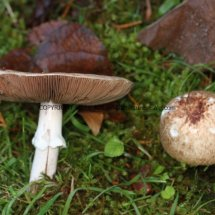 Agaricus langei Scaly Wood Mushroom or A silvaticus Blushing Wood (10)