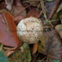 Agaricus langei Scaly Wood Mushroom or A silvaticus Blushing Wood (3)