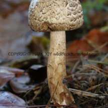 Agaricus langei Scaly Wood Mushroom or A silvaticus Blushing Wood (4)