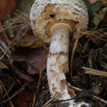Agaricus langei Scaly Wood Mushroom or A silvaticus Blushing Wood (5)
