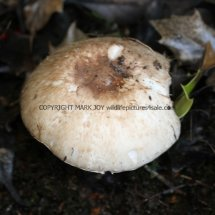 Agaricus langei Scaly Wood Mushroom or A silvaticus Blushing Wood (6)