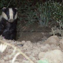 Badger (3)