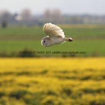 Barn Owl (10)