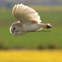 Barn Owl (11)