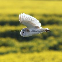 Barn Owl (12)