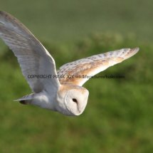 Barn Owl (14)