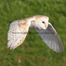 Barn Owl (15)