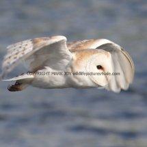 Barn Owl (17)