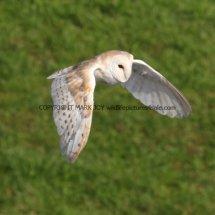 Barn Owl (16)