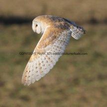 Barn Owl (3)