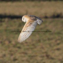 Barn Owl (1)