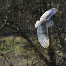 Barn Owl (4)