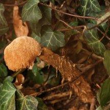 Battarrea phalloides Sandy Stiltball Suffolk 24.2.2017 (3)