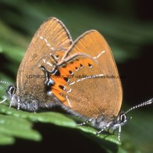 Black Hairstreaks mating (1)