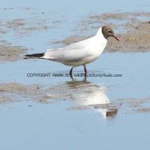 Black Headed Gull (7)