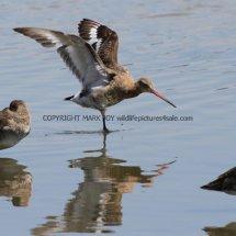 Black Tailed Godwit (2)
