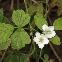 Blackberry Bush (Rubus fruticosus)