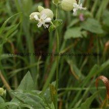 Bladder Campion or Maidenstears (Silene vulgaris) (1)