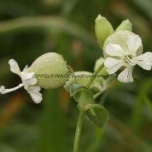 Bladder Campion or Maidenstears (Silene vulgaris) (2)