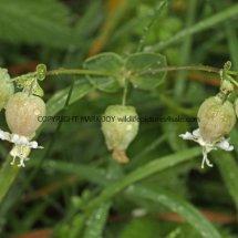 Bladder Campion or Maidenstears (Silene vulgaris) (3)
