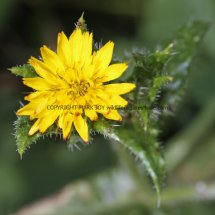 Bristly Oxtongue (Picris ecchioides) (1)