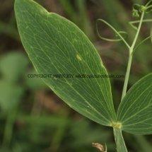 Broad-leaved Everlasting-pea (Lathyrus latifolius) (2)