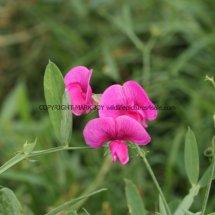 Broad-leaved Everlasting-pea (Lathyrus latifolius) (3)