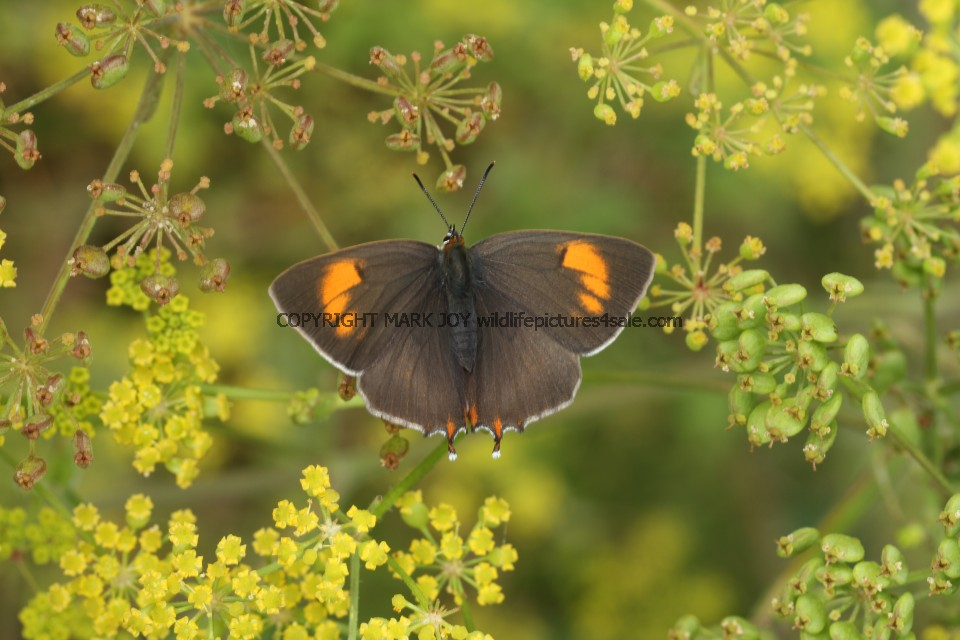 Brown Hairstreak (2)