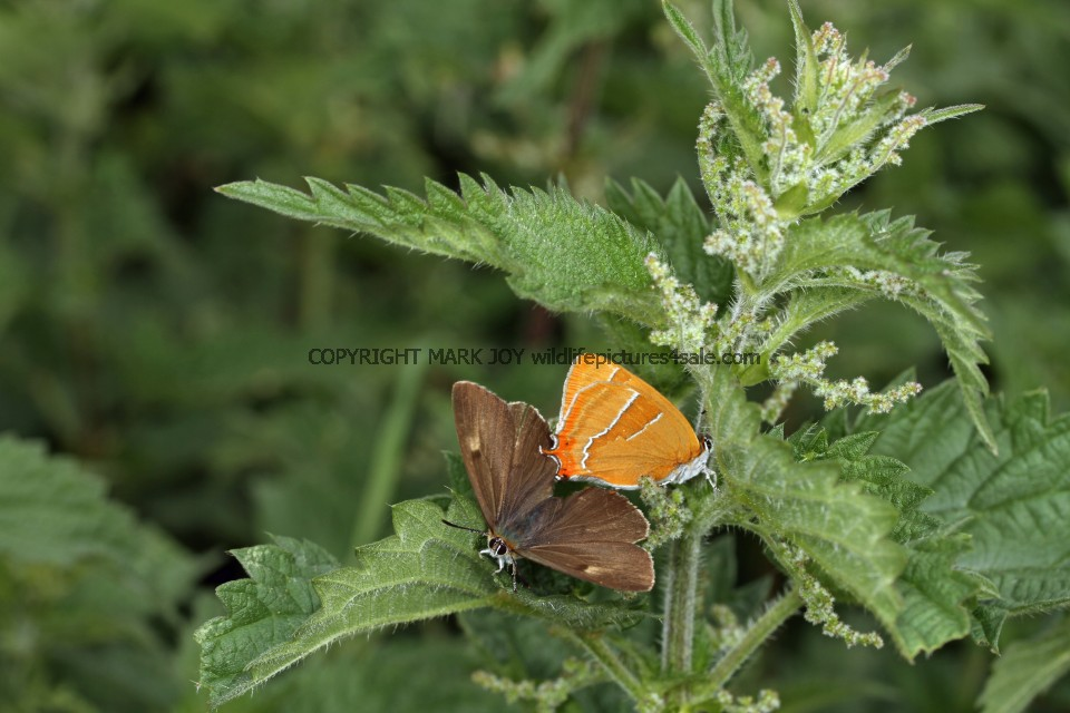 Brown Hairstreak (25)