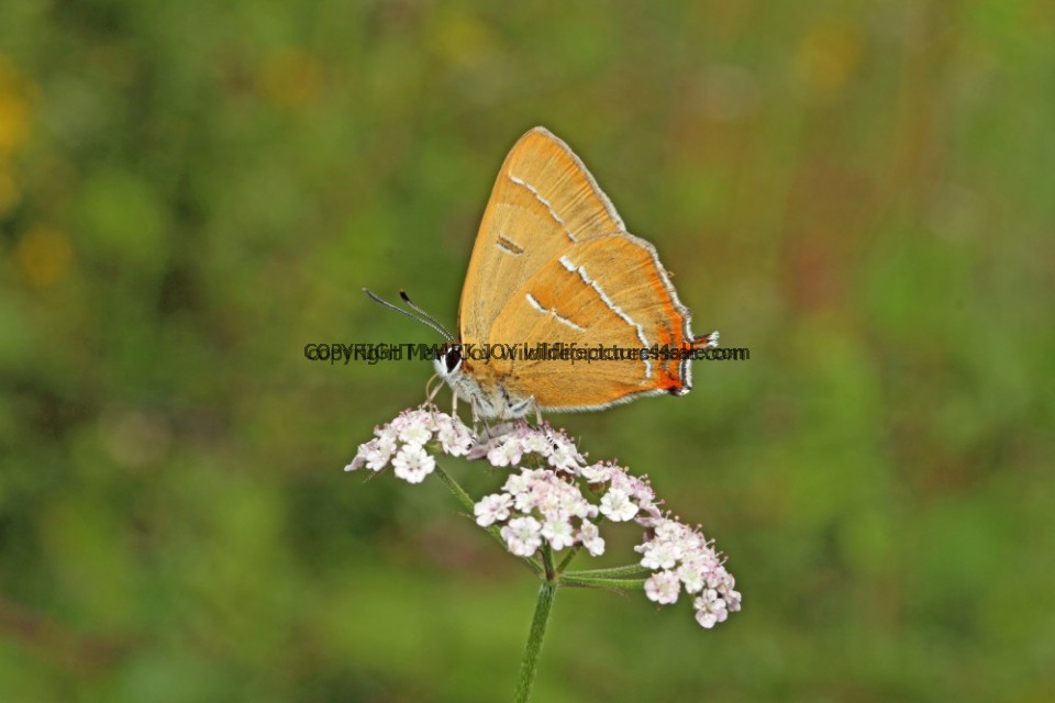 Brown Hairstreak (8)