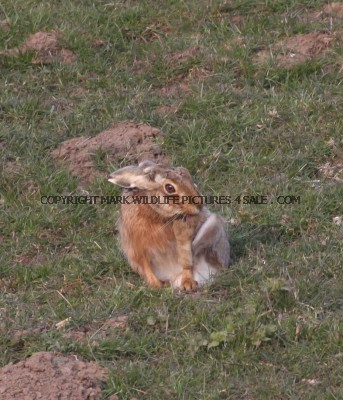 Brown Hare 12 (3)