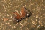 Brown commodore (Precis natalica)