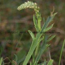 Buck's-horn Plantain (Plantago coronopus) (3)