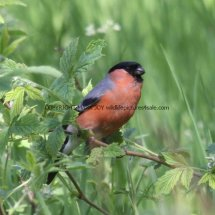 Bullfinch (2)