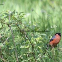 Bullfinch (1)