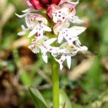 Burnt Orchid Neotinea ustulata 10.5.2017 (1)