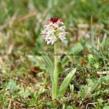 Burnt Orchid Neotinea ustulata 10.5.2017 (4)