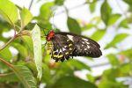 Cairns or Common Green Birdwing - female Ornithoptera priamus (2)