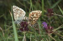 Chalkhill Blue (3)
