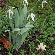 Clavulina rugosa Wrinkled Club Leics Bot Gardens 28.2.17 (4)