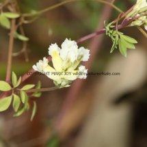 Climbing Corydalis (Ceratocapnos claviculata) (1)