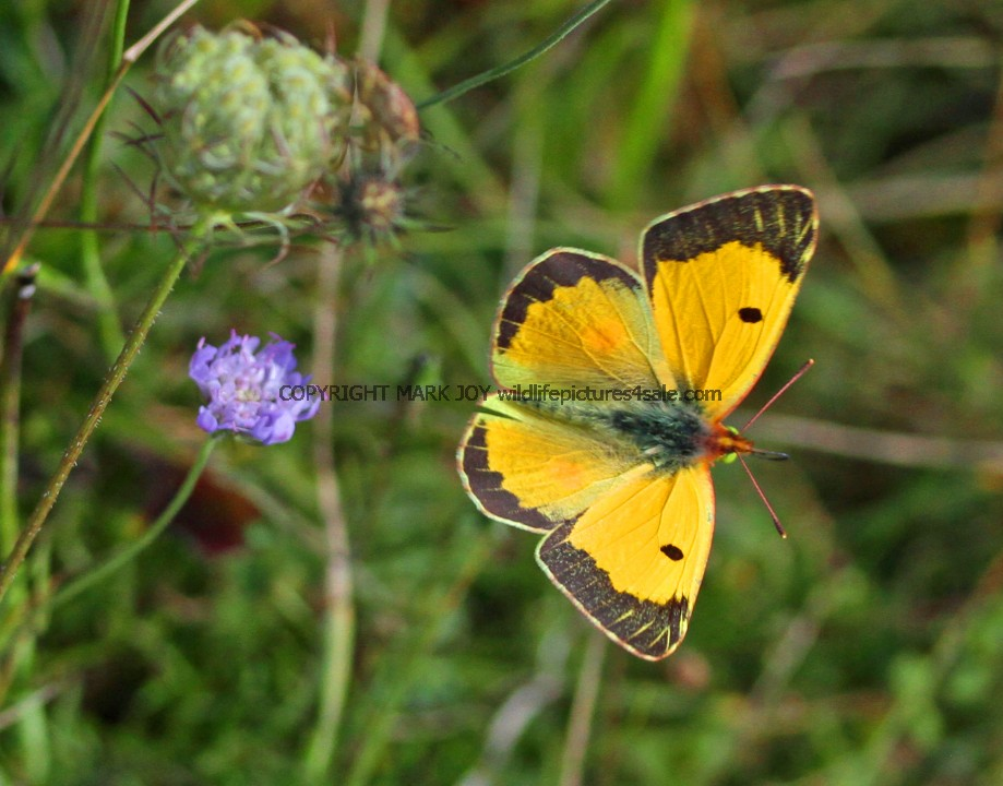Clouded Yellow (1)