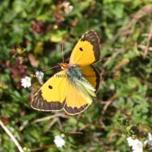 Clouded Yellow (4)