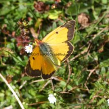 Clouded Yellow (5)