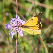 Clouded Yellow (8)