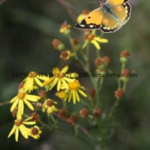 Clouded Yellow (Female) (3)
