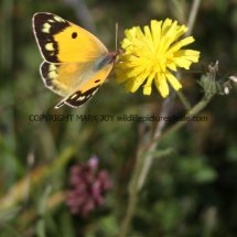 Clouded Yellow (Female) (4)